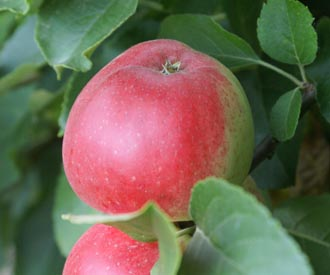 Apple - Scarlet Pimpernel