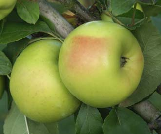 Apple - Sisson's Worksop Newtown