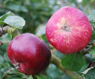 Apple - Sops in Wine