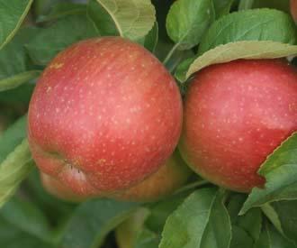 Apple - Spencer