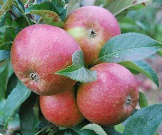 Apple - St Augustine's Orange