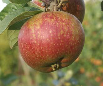Apple - St Magdalen
