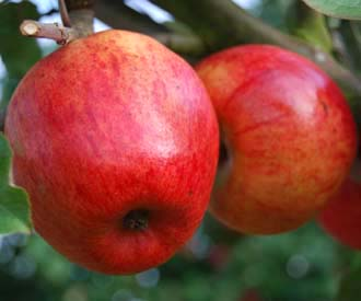 Apple - Star of Devon