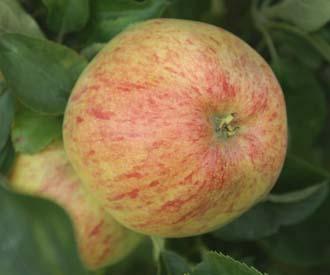 Apple - Upton Pyne
