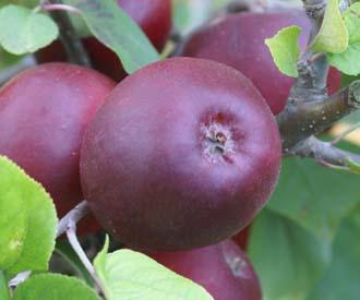Apple - Violette