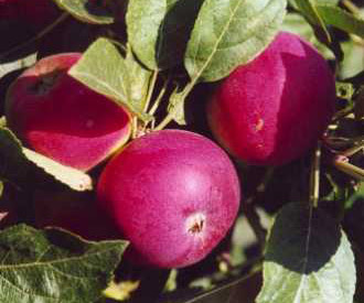 Apple - Vista Bella