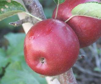 Apple - Waltz