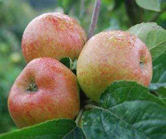 Apple White Paradise