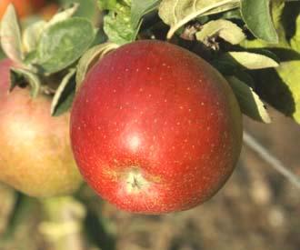 Apple - William Crump