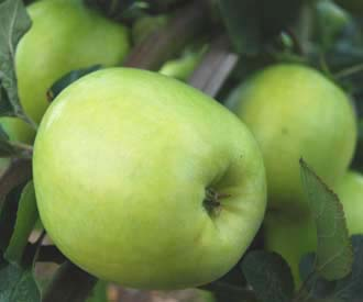 Apple - Winter Lemon
