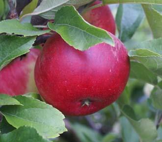 Apple - Worcester Pearmain