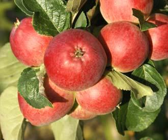 Apple - Yarlington Mill