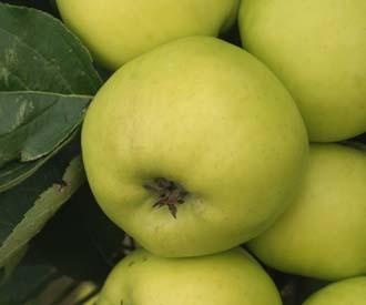 Apple - Yorkshire Aromatic