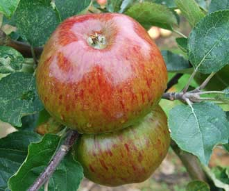 Apple - Yorkshire Greening
