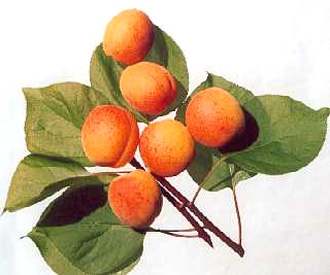 Apricot - Moorpark