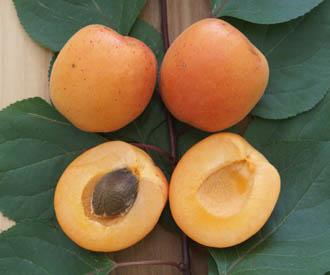 Apricot - Tomcot