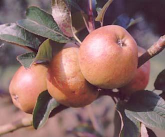 Apple - Ard Cairn Russet