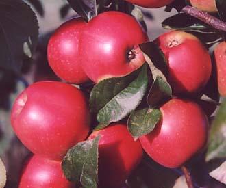 Apple - Autumn Glow