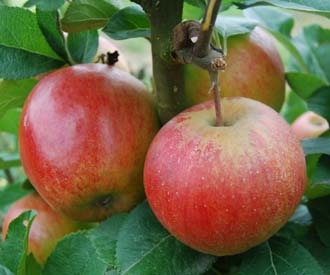 Apple - Barnack Beauty