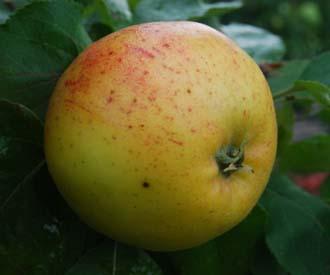Apple - Baron Wood