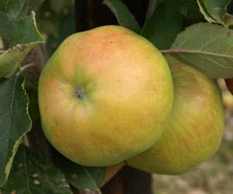 Apple - Beauty of Kent