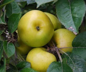 Apple - Beauty of Moray