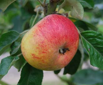 Apple - Beeley Pippin