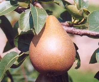 Pear - Belle Julie