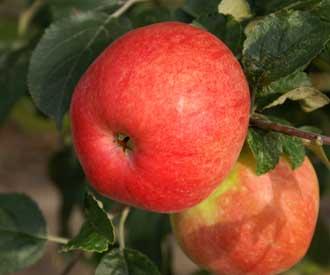 Apple - Belfleur Kitika