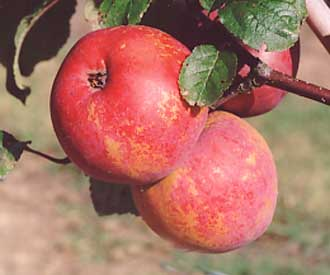 Apple - Belfleur Krasnyi
