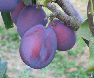 Self Fertile Plum And Gage Trees For Sale Buy Fruit
