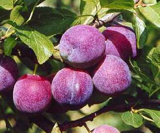 Plum - Belgian Purple
