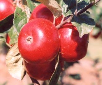 Apple - Ben's Red
