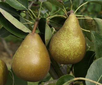 Pear - Bergamotte d'Esperen
