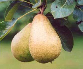 Pear - Beth