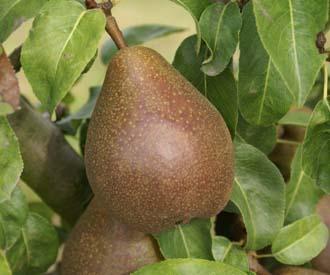 Pear - Beurre d'Avalon