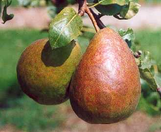Pear - Beurre Bedford