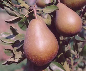 Pear - Beurre Clairgeau