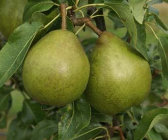 Pear - Beurre Diel