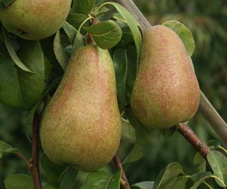 Pear - Beurre Dubuisson