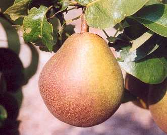 Pear - Beurre Hardy