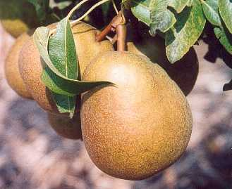 Pear - Beurre Mortillet
