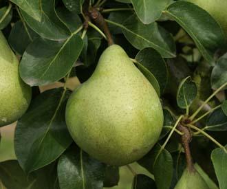 Pear - Beurre Six