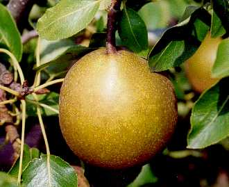 Pear - Beurre Superfin