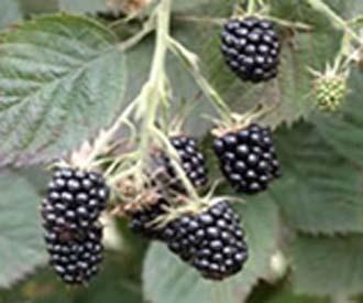 Blackberry - Loch Tay