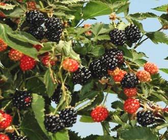 Blackberry - Ouachita