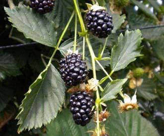 Blackberry - Reuben