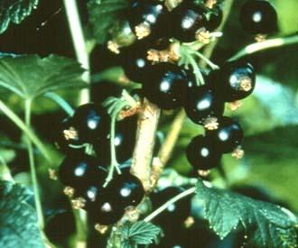 Blackcurrant - Ben Sarek