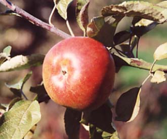 Apple - Blenheim Red