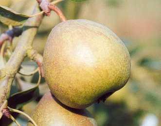 Pear - Blickling